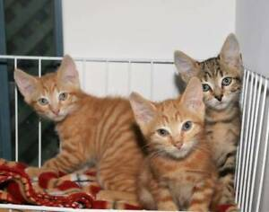AK2943/44/45: Oliver/OMalley/Odette - ADOPT KITTENS- Vet Work Inc