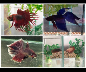 3boys 2 girls Beta fighter fish, + tanks, accessories Beenleigh Logan Area Preview