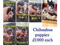Short & Long Hair Chihuahua Puppies £1000