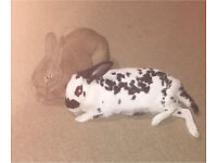 bonded Male and female rabbits with acessories cage runner