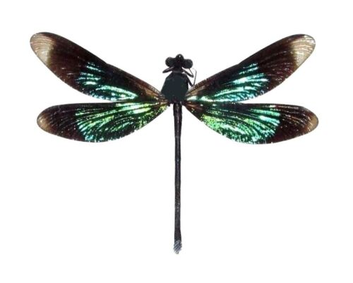 ONE GREEN BLACK DRAGONFLY DAMSELFLY CALOPTERYX VIRGO MOUNTED PACKAGED
