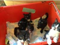 6 kittens for sale. Ready to go in approx 2 weeks.