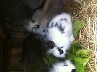 2 month old rabbits for sale