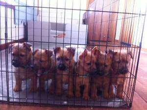 Australian Terrier pups- only Males left!  Will send to MEL & SYD Gladstone Dorset Area Preview