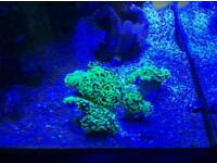 Ultra bright hammer Marine coral for marine fish tank. Marine aquarium