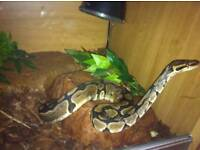 Female Royal Python