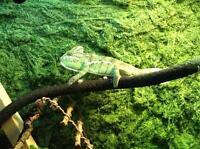 5 month old Female veiled chameleon