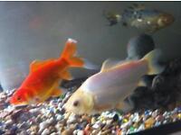Fish Tanks With Goldfish