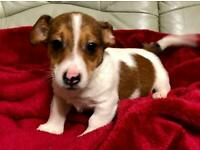 Jack Russell Male Puppies *one left*