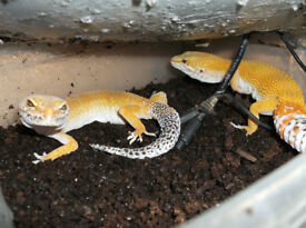 Three Leopard Geckos with Vivarium and Accessories