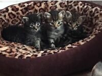 Bengal x maincoon x Persian kittens (1 girl not reserved)
