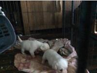 Bischeon frise x beagle puppies