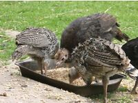 3 young Turkeys + 2 adults