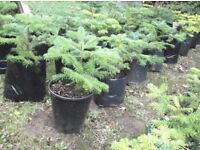 Nordman Fir potted Christmas Trees