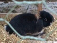 2 Seven month old Male Mini lops not neautered.
