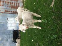 Purebred Mohair goat kids for sale