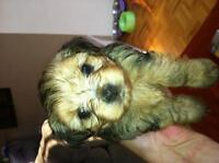 RARE pure blond pure bred yorkies 2-4lbs when full grown