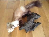 Taxidermy Mink