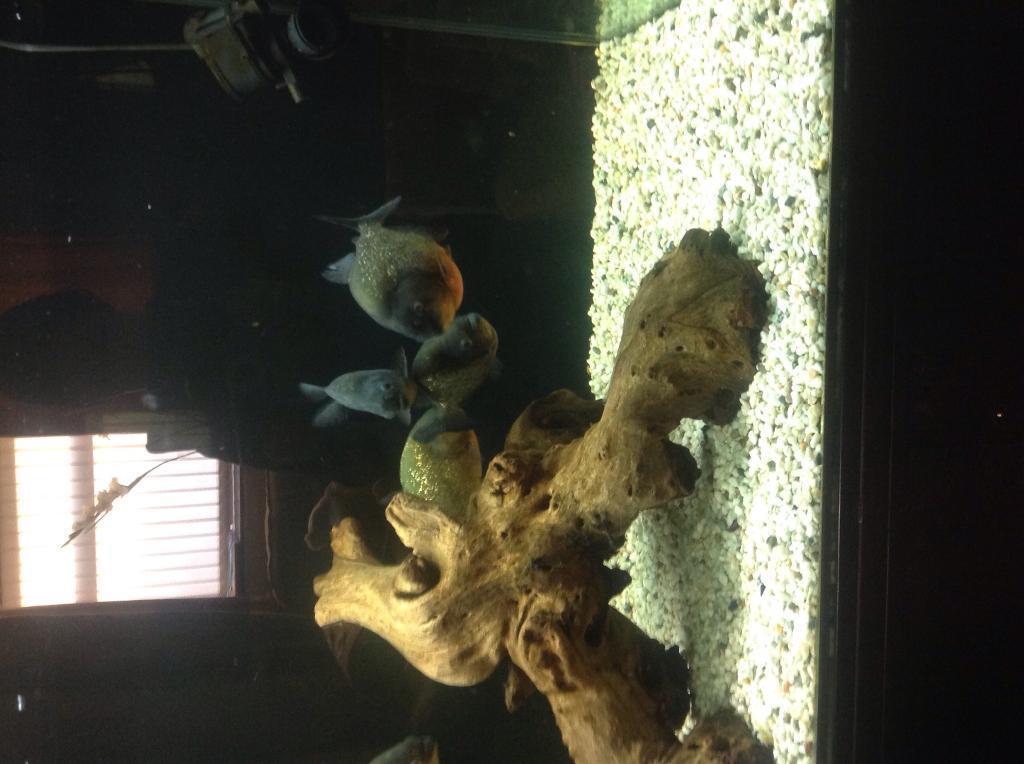 Red Belly Piranha Fish Tank Red Belly Piranhas