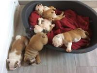 Puppy kc registered English bulldogs