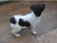 Pedigree English Springer Spaniel Puppies £650