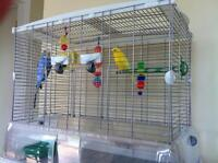 2 Budgies + Cage + accessories