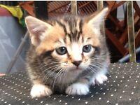 Tiger Like Triplet Kittens & Siblings