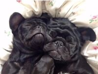 Two male KC registered puppies, pure breed, black puppies pugs. Vaccinations and microchipped