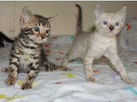 --- Puuurfect litter of Pedigree Bengal babies ---