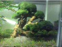 Aquascape large aquarium bonsai with moss and many other plants.