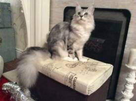 SILVER FEMALE MAINE COON