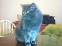 Russian Blue Mixed Cats Forsale