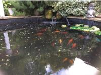 Koi Carp & 14 Gold/Assorted Pond Fish + Good Working Pump & Filter