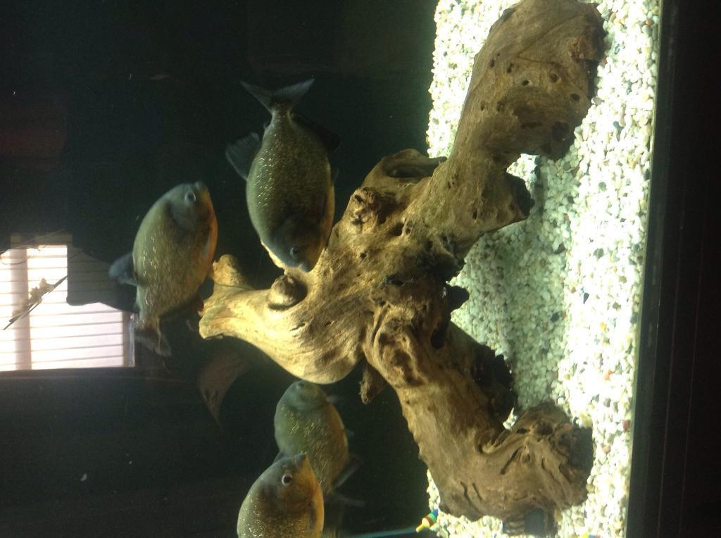 Red Belly Piranha Fish Tank Red Belly Piranhas United