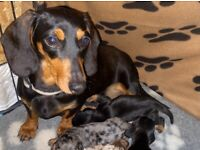Miniature dachshund puppies all reserved