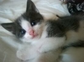 5 KITTENS FORSALE 7WEEKS OLD READY TO BE HOMED WITH LOVING OWNERS