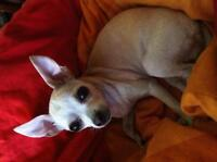 Chihuahua lost Lucy