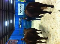 Registered Red Angus bulls for sale