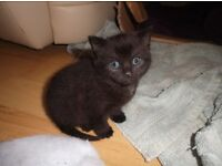STUNNING SMOKEY BLACK KITTEN FOR SALE - CUTE AS A BUTTON - PLAYFUL -LITTER TRAINED AND JUST LOVELY