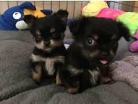 Two cute long hair girl chihuahua puppy's