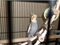 Male Cockatiel for sale with Cage & Accessories