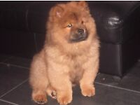 Chow chow puppies for sale 3 girls 9 weeks old full pedigree kc registered