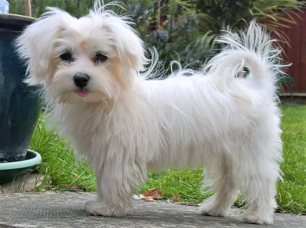 boy maltese maltese boy puppy in swindon wiltshire gumtree 4289