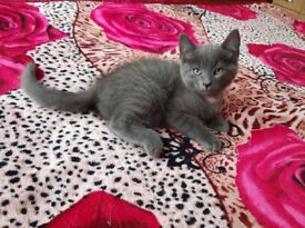 2 male grey kittens for sale