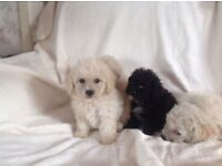 Bichon x Miniature Toy Poodle Puppies. Absolutely Adorable puppies, Gorgeous textured coats.