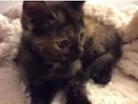 Beautiful little tortoiseshell kitten litter trained flea & worm treated