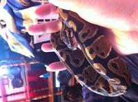 young and well kept, handling ball python