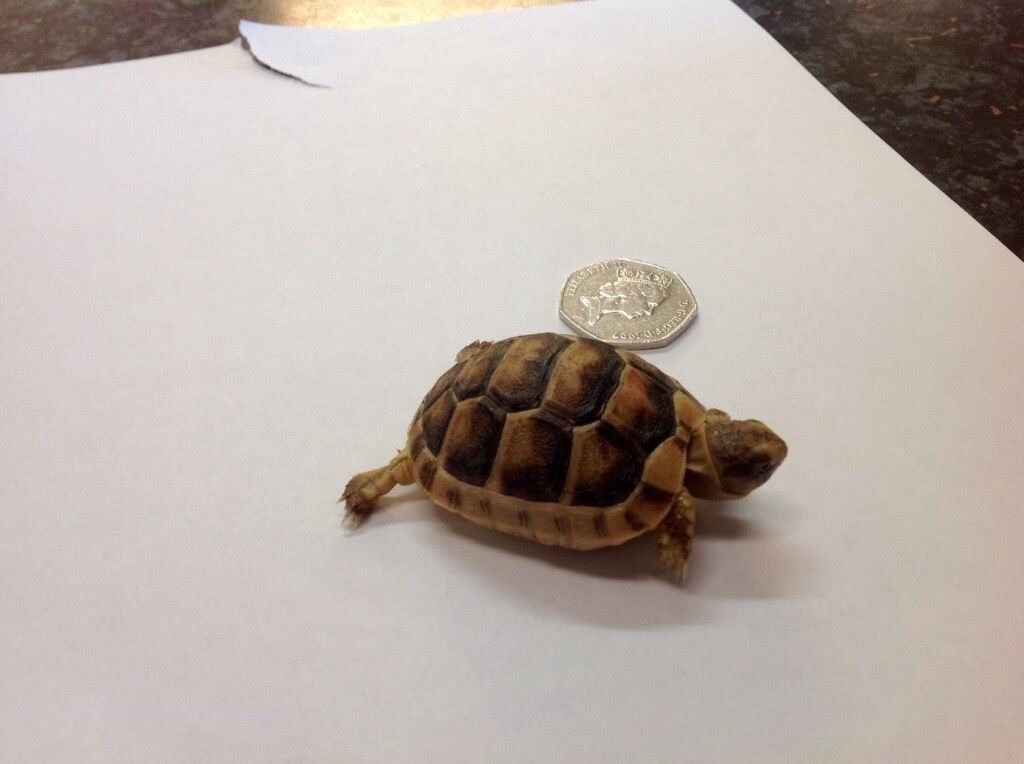 Marginated Tortoise Care Marginated Tortoise With Papers