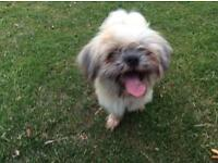 Gorgeous 9month shihtzu chihuahua / shichi cross - cute male puppy dog