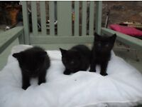 STUNNING KITTENS FOR SALE - PLAYFUL AND LOVELY NATURE - 4 AVAILABLE - ALL LITTER TRAINED & GORGEOUS